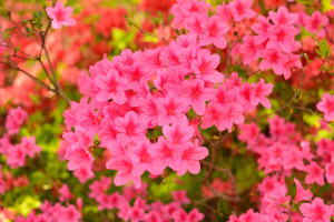 Tutuji_pink